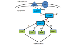 Cascade Ativation Signal Pathway of Mitogen-Activated Protein Kinases(MAPK)