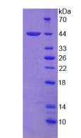 Active Amphiregulin (AREG)