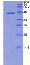 Active Bone Morphogenetic Protein 2 (BMP2)