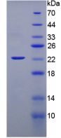 Active Interferon Alpha (IFNa)