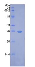 Active Fibroblast Growth Factor 9 (FGF9)