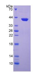 Active Neutrophil Activating Protein 3 (NAP3)