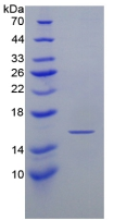 Active Interferon Gamma (IFNg)