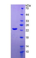 Active Interleukin 10 (IL10)