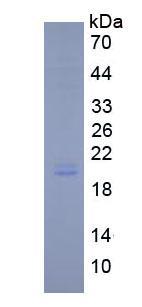 Active Interleukin 11 (IL11)