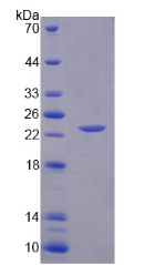Active Interleukin 1 Alpha (IL1a)