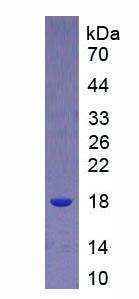 Active Interleukin 9 (IL9)