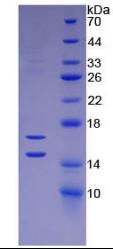 Active Monocyte Chemotactic Protein 1 (MCP1)