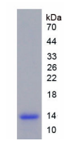 Active Macrophage Inflammatory Protein 3 Beta (MIP3b)