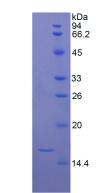Active Transforming Growth Factor Beta 1 (TGFb1)