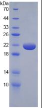 Active Tumor Necrosis Factor Alpha (TNFa)