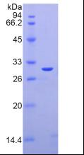 Active Galectin 3 (GAL3)