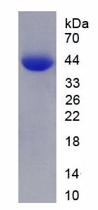 Active Galectin 9 (GAL9)