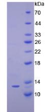 Active Interferon Gamma Induced Protein 10kDa (IP10)