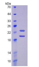 Active Fibroblast Growth Factor 2, Basic (FGF2)