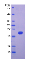 Active Matrix Metalloproteinase 9 (MMP9)