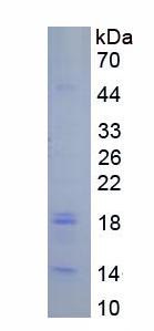 Active Caspase 3 (CASP3)