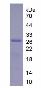 Active Glypican 4 (GPC4)