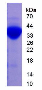 Active Plasminogen (Plg)