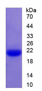 Active Caspase 1 (CASP1)