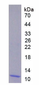 Active S100 Calcium Binding Protein A8 (S100A8)