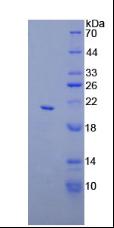Active Apolipoprotein C3 (APOC3)