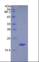 Active Transforming Growth Factor Beta 3 (TGFb3)