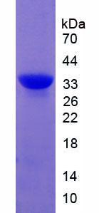 Active Calpain 1, Large Subunit (CAPN1)