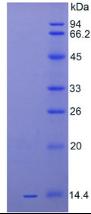 Active Interleukin 33 (IL33)