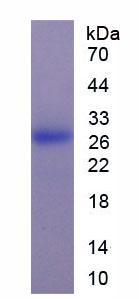 Active Interleukin 29 (IL29)