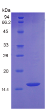 Active Growth Differentiation Factor 6 (GDF6)