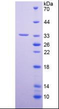 Active Peptidylglycine Alpha Amidating Monooxygenase (PAM)