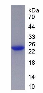 Active Fibroblast Growth Factor 18 (FGF18)