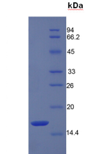 Active Regenerating Islet Derived Protein 3 Alpha (REG3a)