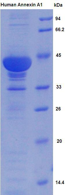 Active Annexin A1 (ANXA1)