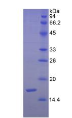 Active Semaphorin 3F (SEMA3F)