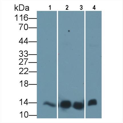 Anti-Cytochrome C (CYCS) Monoclonal Antibody
