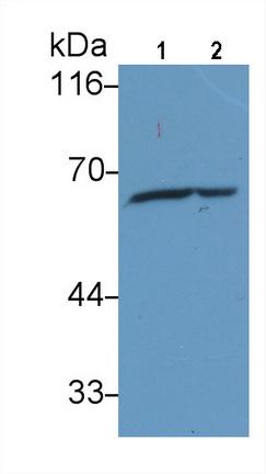Anti-Heat Shock Protein 60 (Hsp60) Monoclonal Antibody