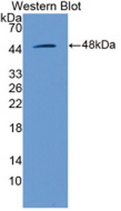 Anti-Extracellular Signal Regulated Kinase 2 (ERK2) Polyclonal Antibody
