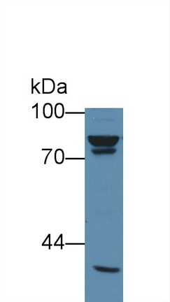 Anti-Beta Catenin (β-catenin) Monoclonal Antibody
