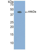Anti-Actin Beta (ACTb) Polyclonal Antibody