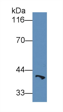 Anti-Heat Shock 70kDa Binding Protein 1 (HSPBP1) Polyclonal Antibody