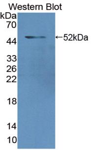 Anti-Lamin A/C (LMNA) Polyclonal Antibody