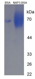 BSA Conjugated Neutrophil Activating Protein 3 (NAP3)