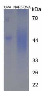 OVA Conjugated Neutrophil Activating Protein 3 (NAP3)