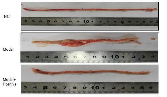 Rat Model for Colitis