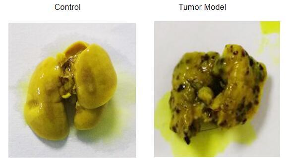 Mouse Model for Tumor Transplantation (TT)
