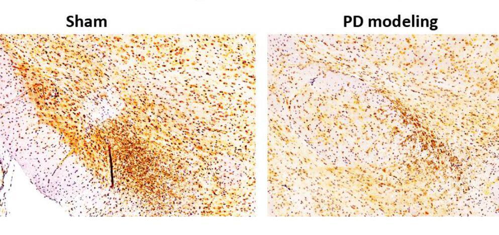Mouse Model for Parkinson's Disease (PD)