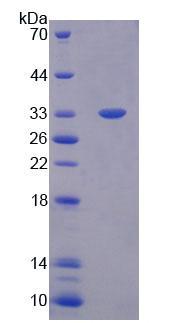 Eukaryotic Immunoglobulin G1 (IgG1)