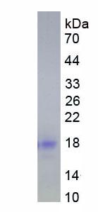 Eukaryotic Interleukin 4 (IL4)